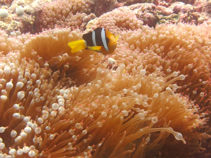 Clownfish with Anemone on thr Maledives