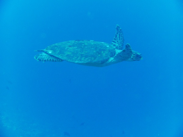 Turtle on the Maldives